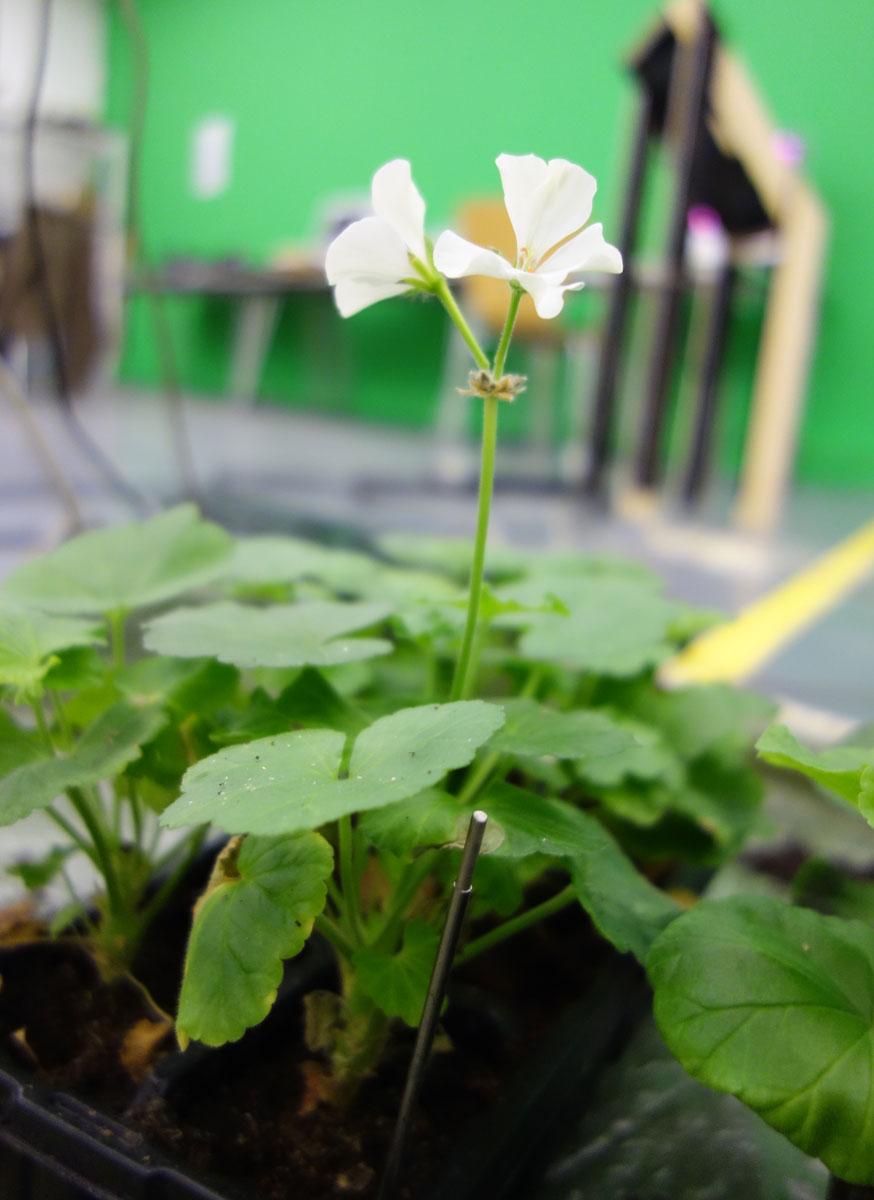 geraniumFlower